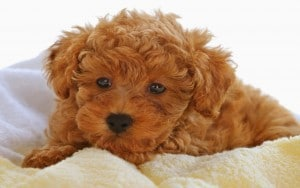 puppy-curly-sweet