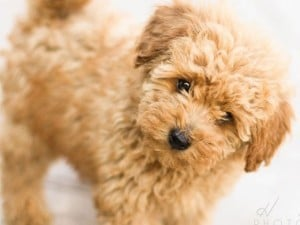 Toy_Poodle_puppy-300x225